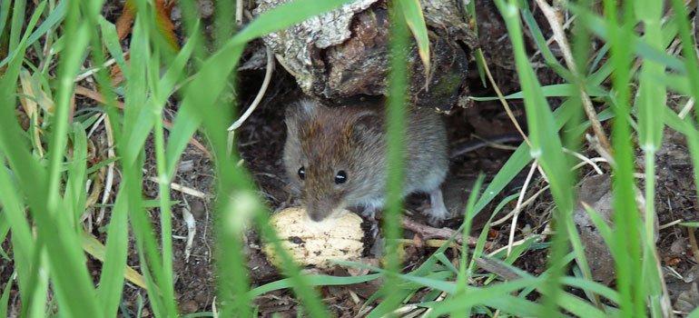 Repelente de ratones